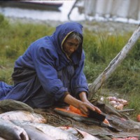 Native woman cleaning salmon, 1958