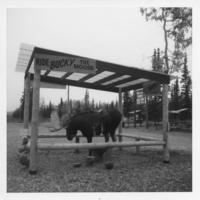 Ride Bucky the Moose. Tok, Alaska, 1974.