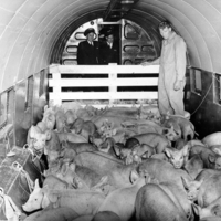 First commercial flight of livestock from another country, 1947